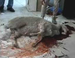 lamb kill