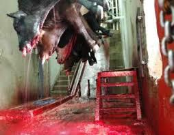 slaughterhouse cows